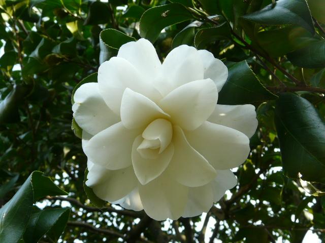 神代植物公園の椿園_e0145782_1932120.jpg