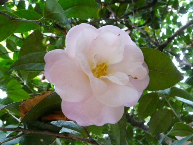 神代植物公園の椿園_e0145782_19322110.jpg
