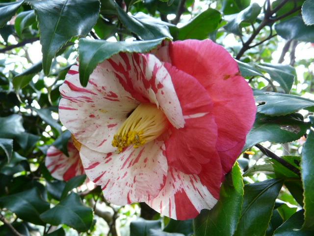 神代植物公園の椿園_e0145782_19334697.jpg