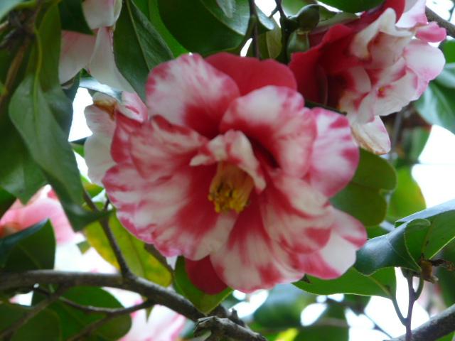 神代植物公園の椿園_e0145782_19342593.jpg