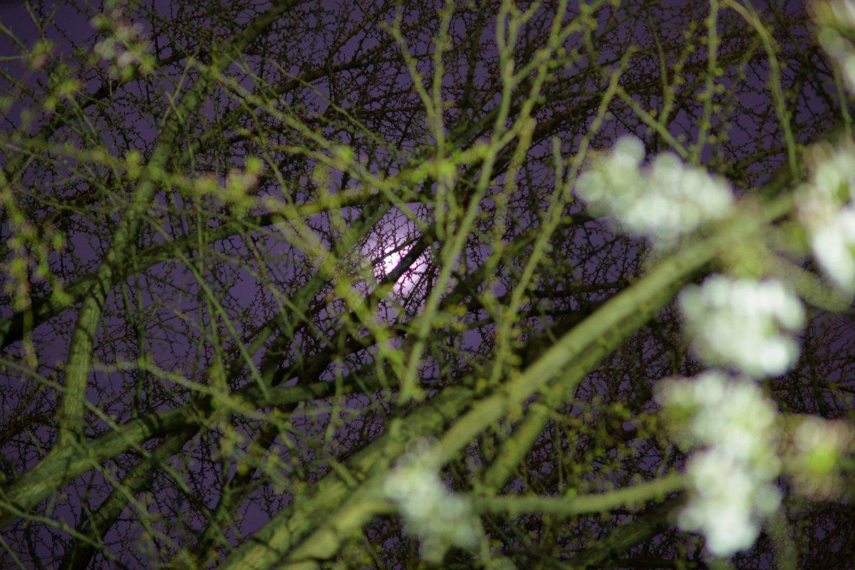 夜桜・・・・inベランダ_c0124795_2154453.jpg