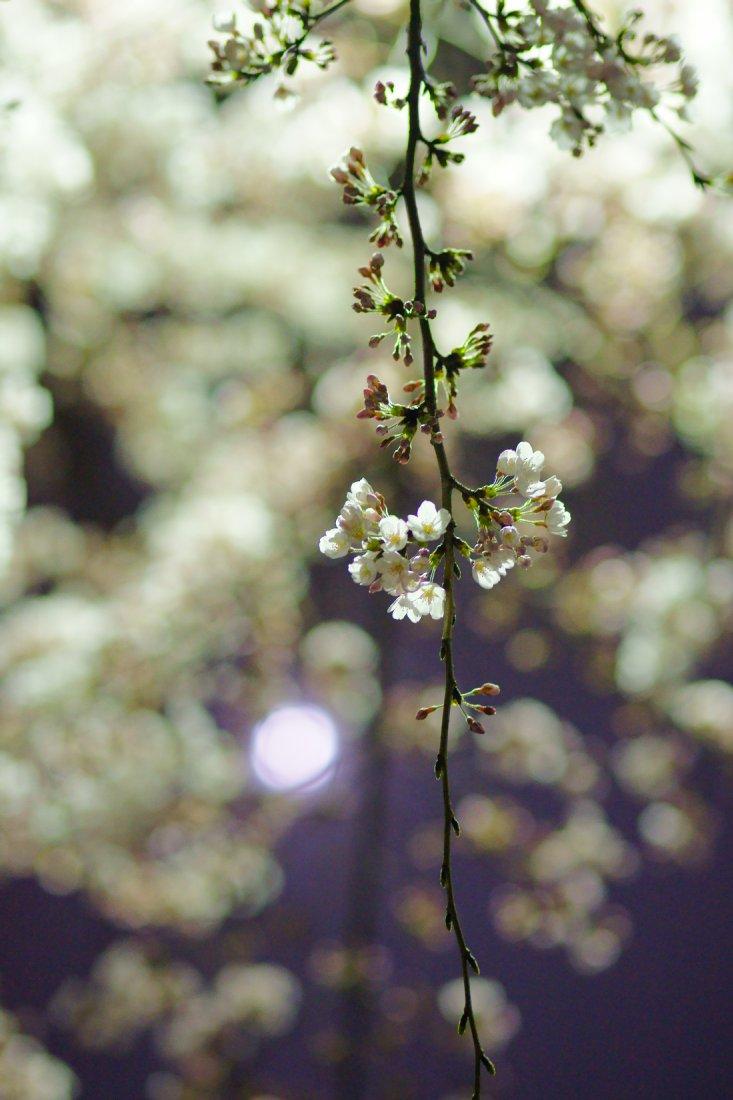 夜桜・・・・inベランダ_c0124795_2156954.jpg