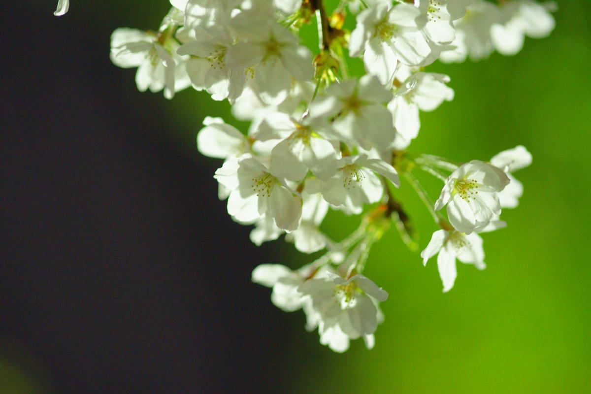 夜桜・・・・inベランダ_c0124795_2211548.jpg