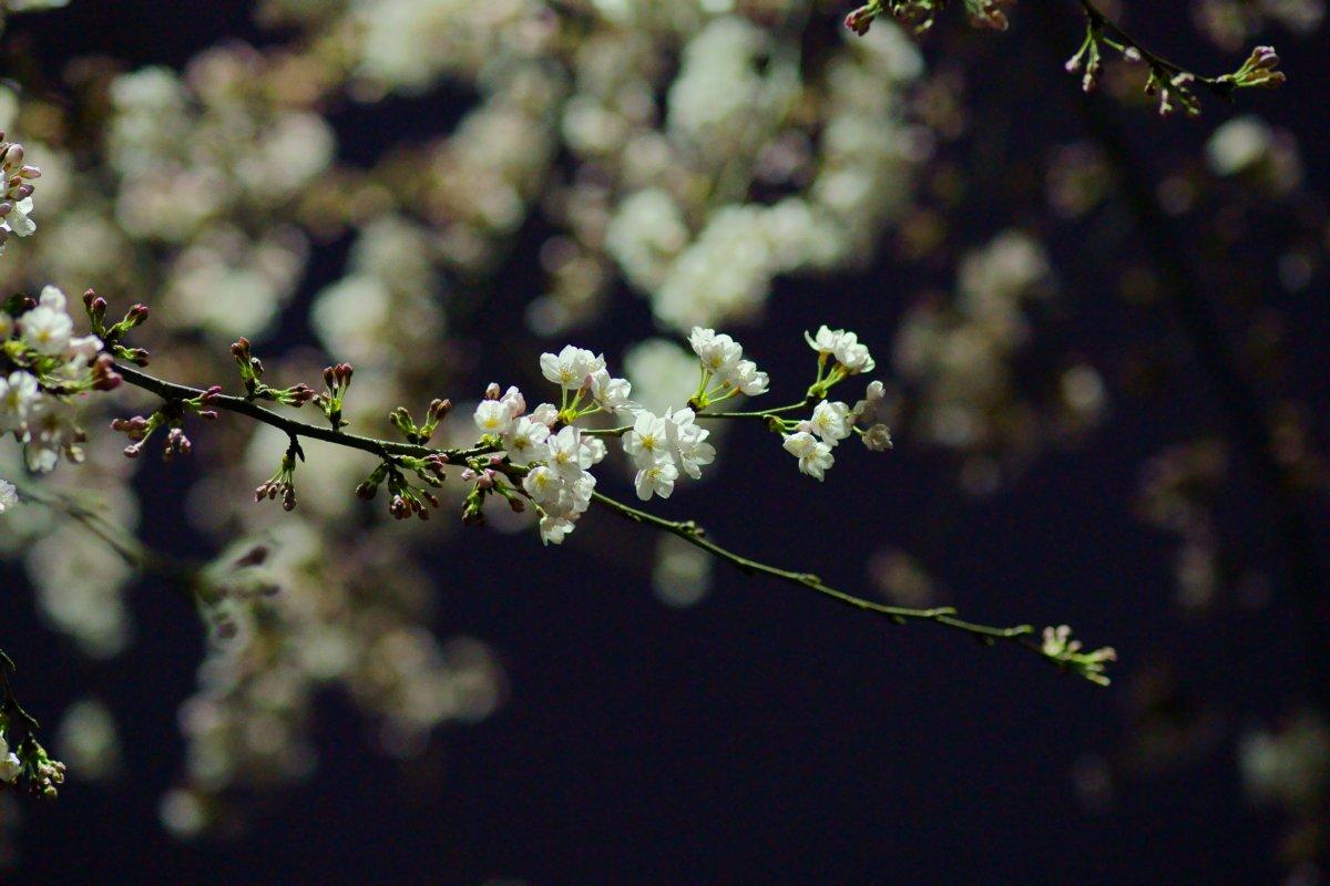 夜桜・・・・inベランダ_c0124795_2215931.jpg