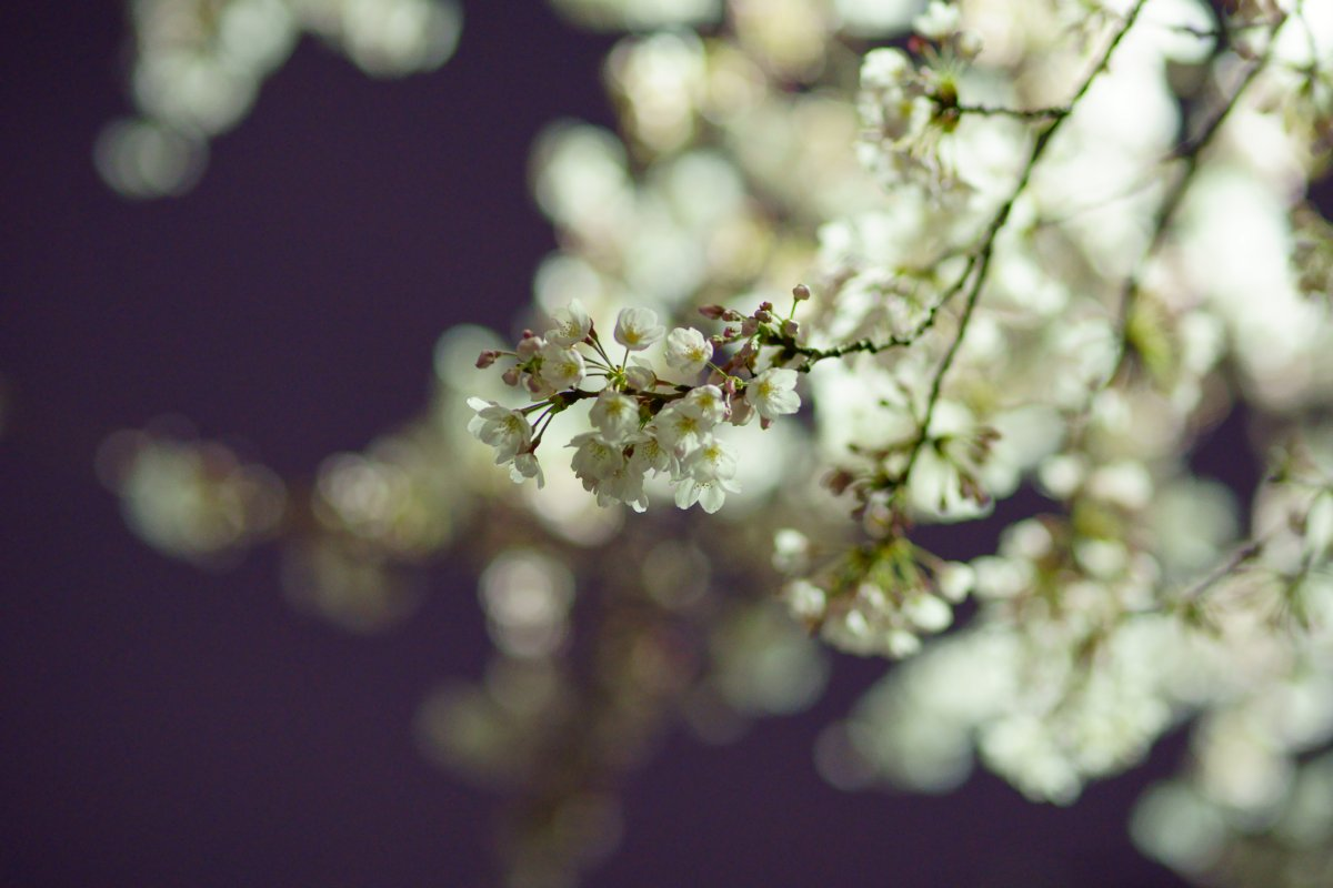 夜桜・・・・inベランダ_c0124795_2222472.jpg