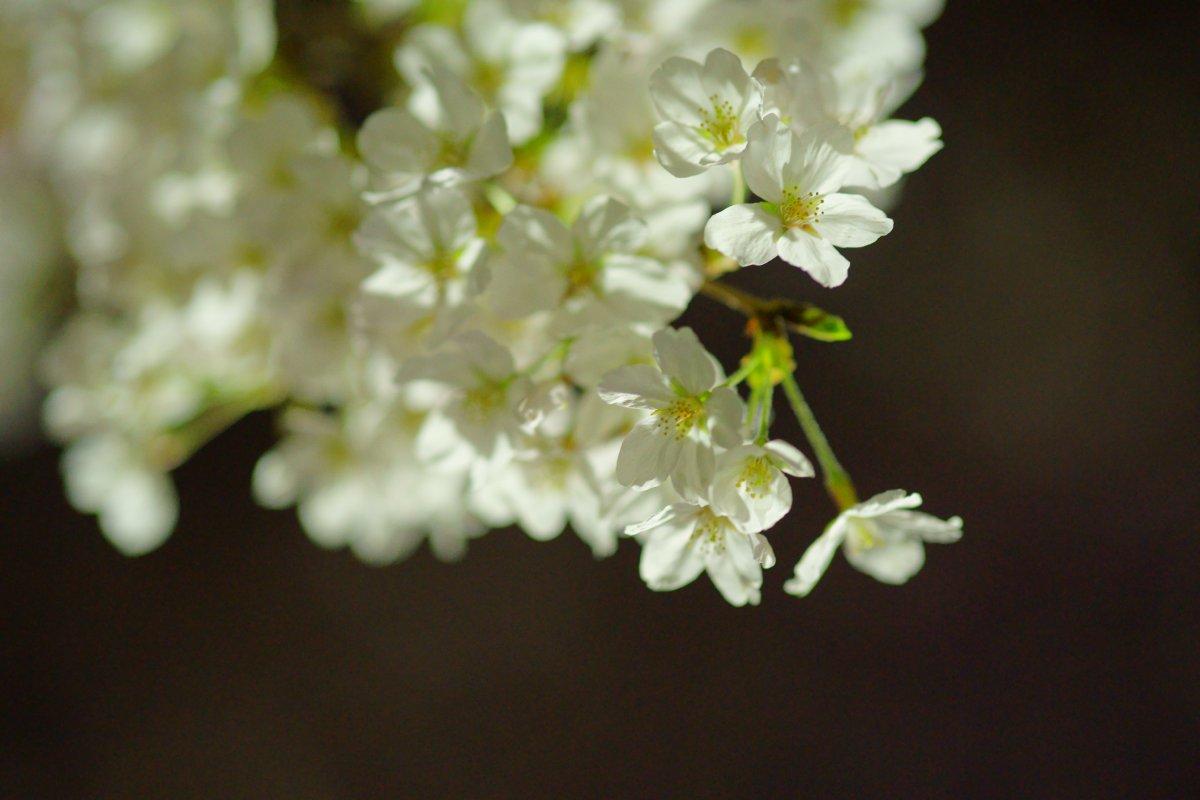 夜桜・・・・inベランダ_c0124795_2234569.jpg