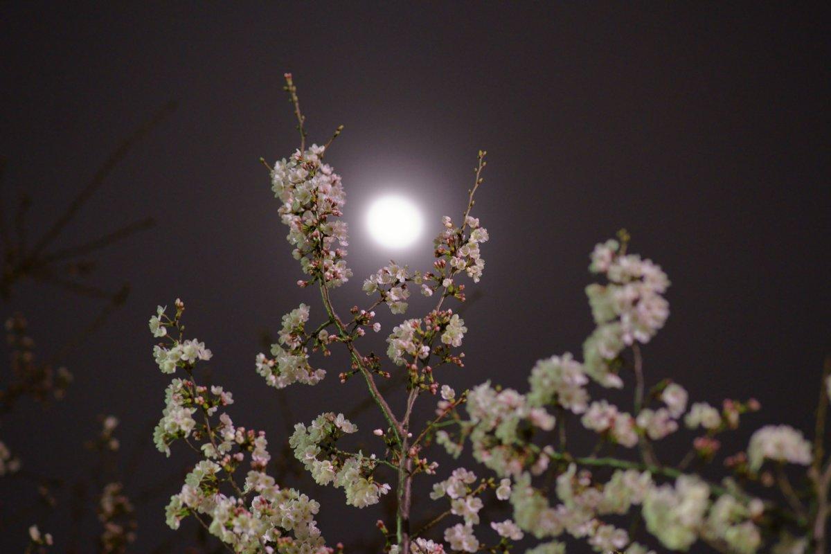 夜桜・・・・inベランダ_c0124795_2235719.jpg