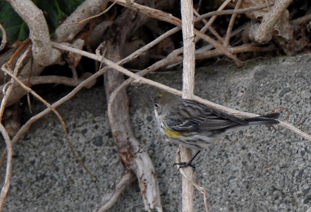 日本で初確認??の珍鳥_b0024798_1203667.jpg