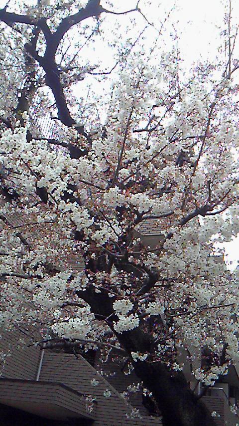 桜。_f0195703_1422973.jpg