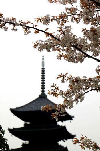 東寺でも咲き始めた_e0048413_218437.jpg