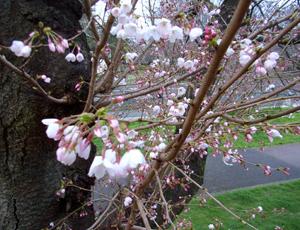 桜のオープンハウス_b0038919_1055538.jpg
