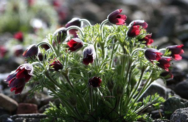 オキナグサの咲く場所_c0104227_121548.jpg
