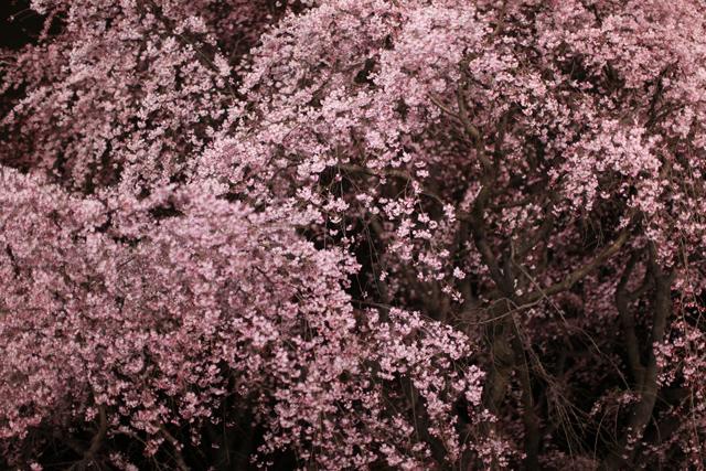 六義園のしだれ桜_e0048332_22193656.jpg