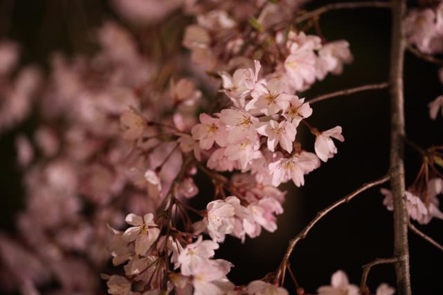六義園のしだれ桜_e0048332_22195776.jpg