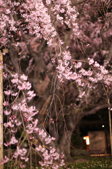六義園のしだれ桜_e0048332_22201316.jpg