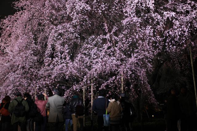 六義園のしだれ桜_e0048332_22204538.jpg