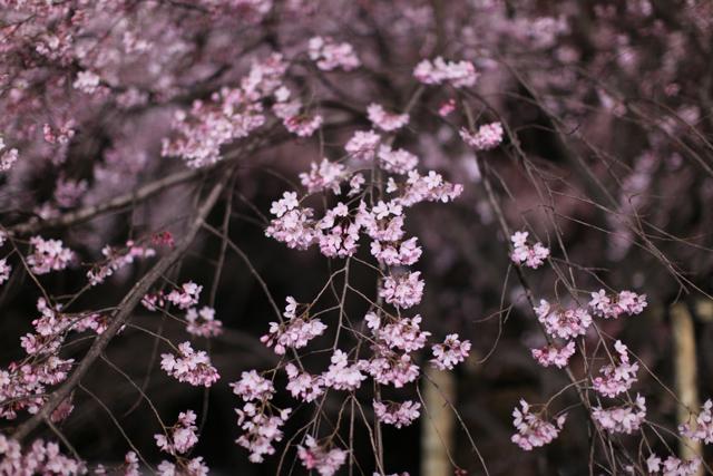 六義園のしだれ桜_e0048332_22274481.jpg