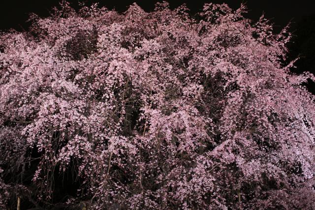 六義園のしだれ桜_e0048332_2292229.jpg
