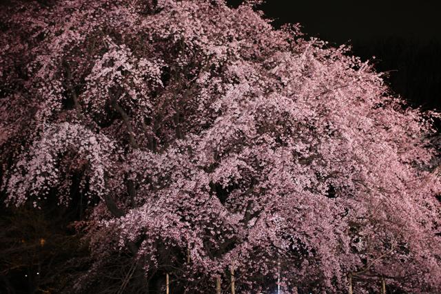 六義園のしだれ桜_e0048332_229561.jpg