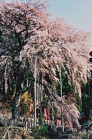 龍祥寺の桜_e0156251_22472753.jpg