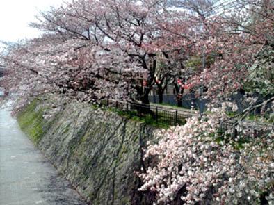 京都さくらたより_b0153663_14402767.jpg