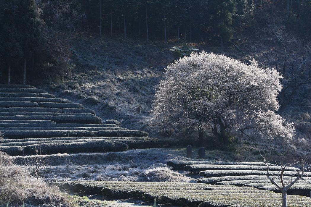 霜に被われて 大子町_e0143883_1861646.jpg