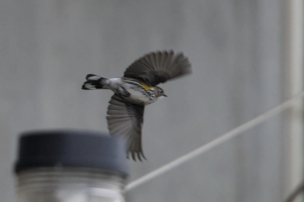 日本で初確認??の珍鳥(その2)_b0024798_14145965.jpg