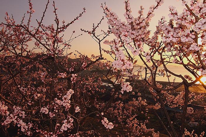 """""""福山市田尻港の朝焼けと杏""""そのⅡ_a0140608_7525390.jpg"""