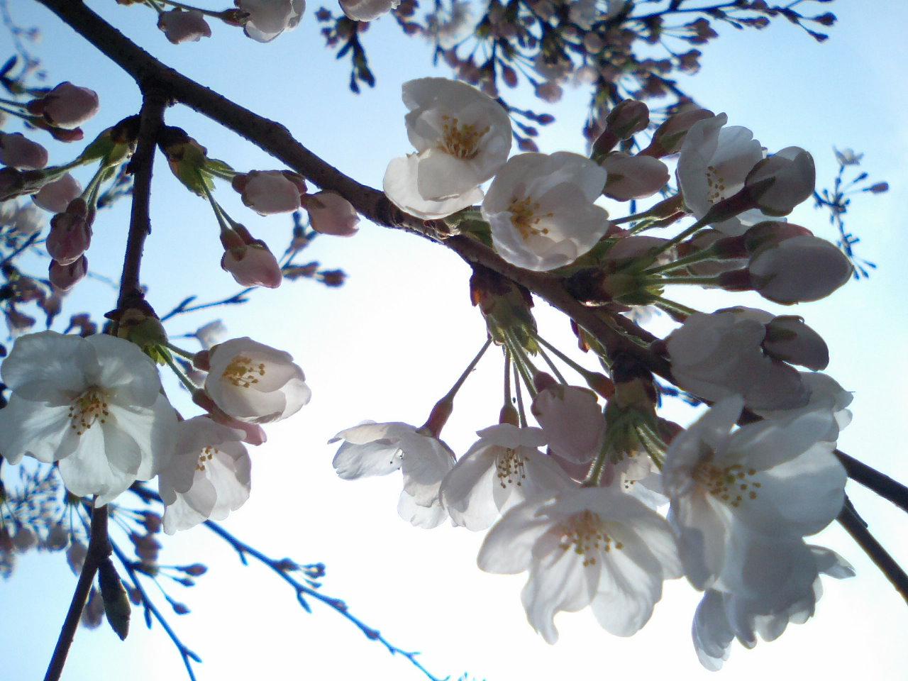 桜_f0155808_8213926.jpg