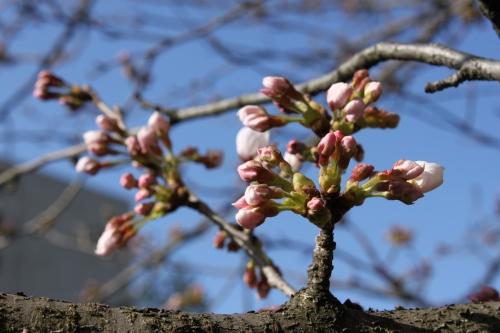 桜レポート_f0229508_8491100.jpg