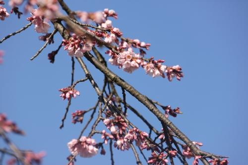 桜レポート_f0229508_8491229.jpg