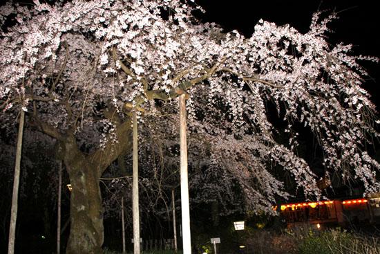 円山公園 夜桜_e0048413_20501462.jpg