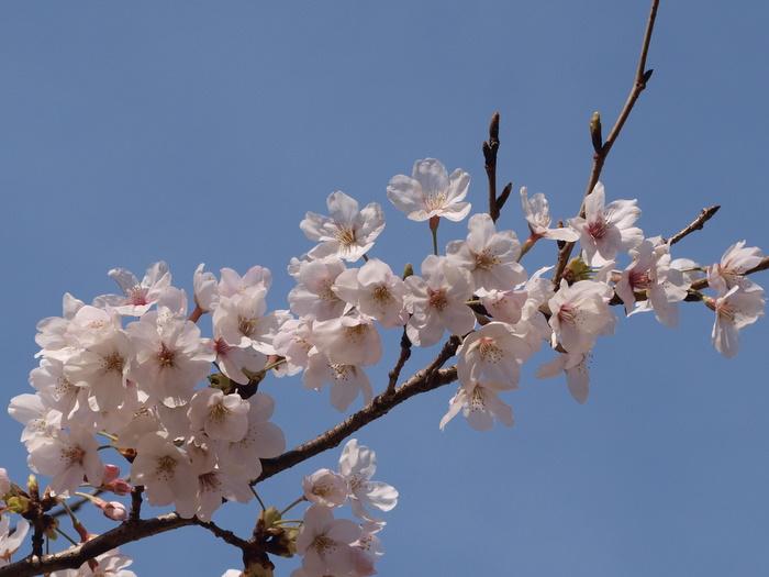 佐伯区民文化センターの隣の公園の桜_c0116915_2331287.jpg