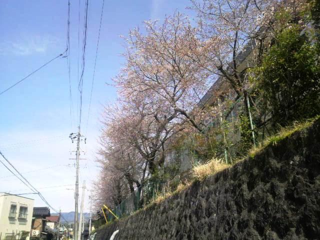 桜~桜~♪_f0151639_1557575.jpg