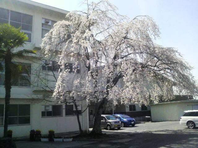 桜~桜~♪_f0151639_16105844.jpg