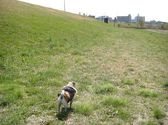 お散歩中にパグちゃんに出会うとテンションが上がる_a0159640_1965693.jpg