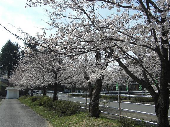 満開の桜でした!!_e0164643_2052627.jpg