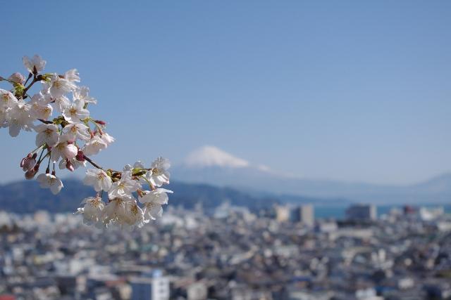 3月30日(火) 桜 富士 港_d0082944_2371215.jpg