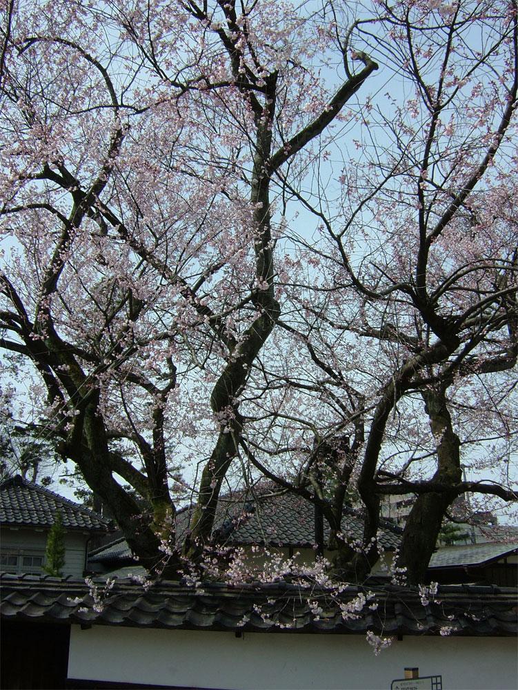 早咲桜_c0110051_14555536.jpg