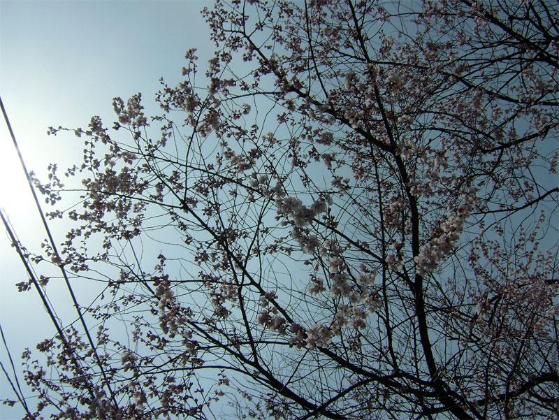 早咲桜_c0110051_14562421.jpg