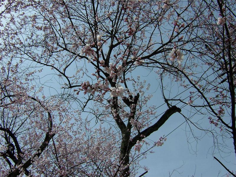 早咲桜_c0110051_1456556.jpg