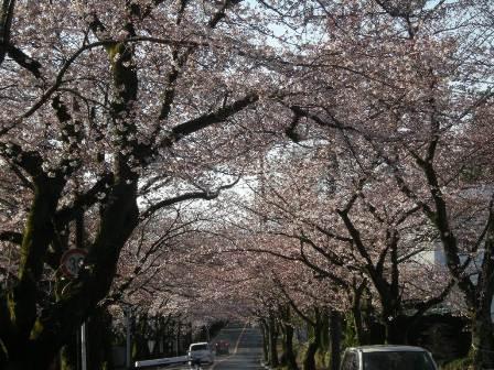 桜の木の雪化粧_f0196455_1351579.jpg