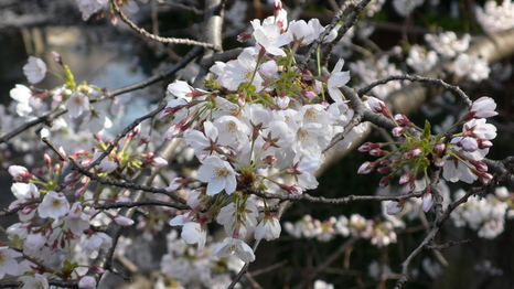目黒川の桜・3/30_e0189465_23152958.jpg