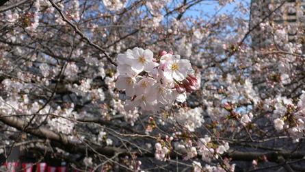 目黒川の桜・3/30_e0189465_23155789.jpg