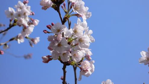目黒川の桜・3/30_e0189465_23163596.jpg