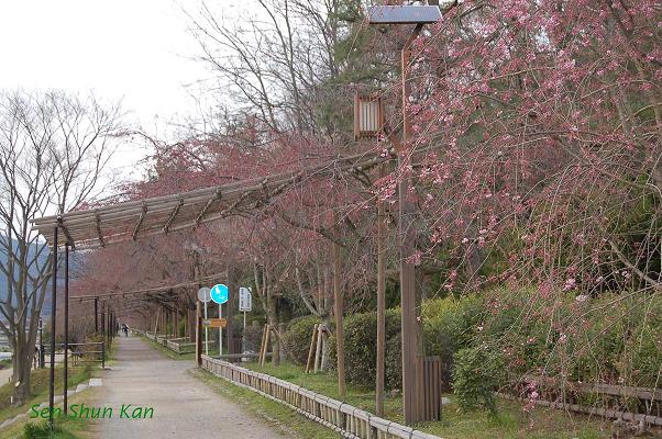 加茂川の桜_a0164068_22285682.jpg