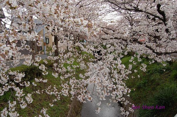加茂川の桜_a0164068_22344225.jpg