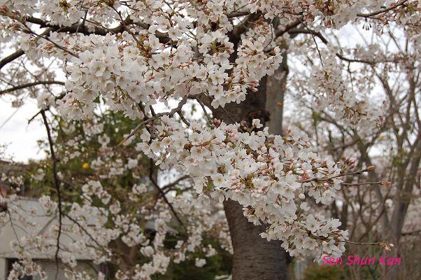 加茂川の桜_a0164068_2234717.jpg