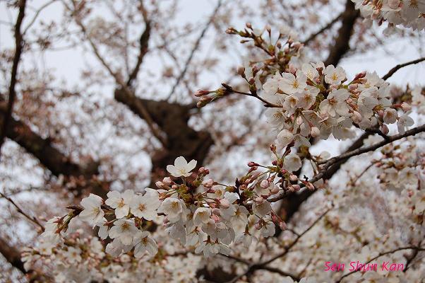 加茂川の桜_a0164068_2235611.jpg