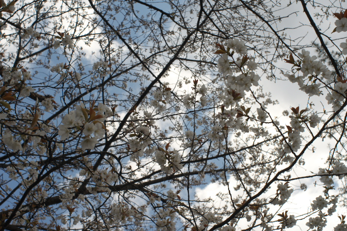 桜と「スウィートライトピンク」_c0168669_17252380.jpg